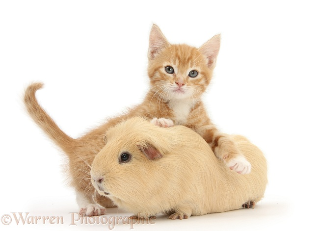 Ginger kitten, Tom, 7 weeks old, and yellow Guinea pig, white background
