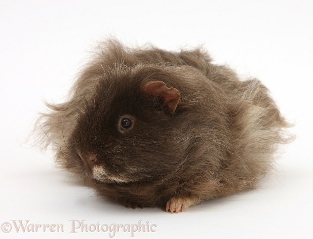 Shaggy Guinea pig, white background