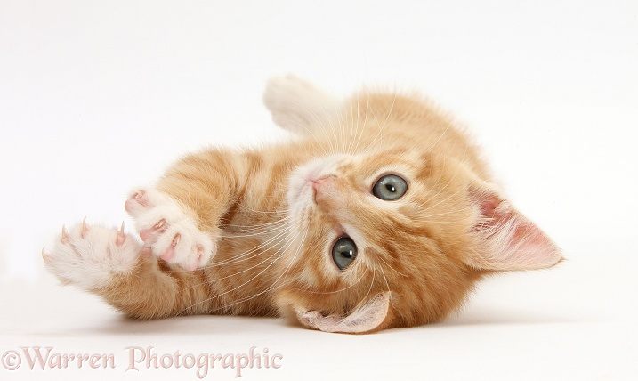 Ginger kitten, Tom, 8 weeks old, rolling playfully on its back, white background