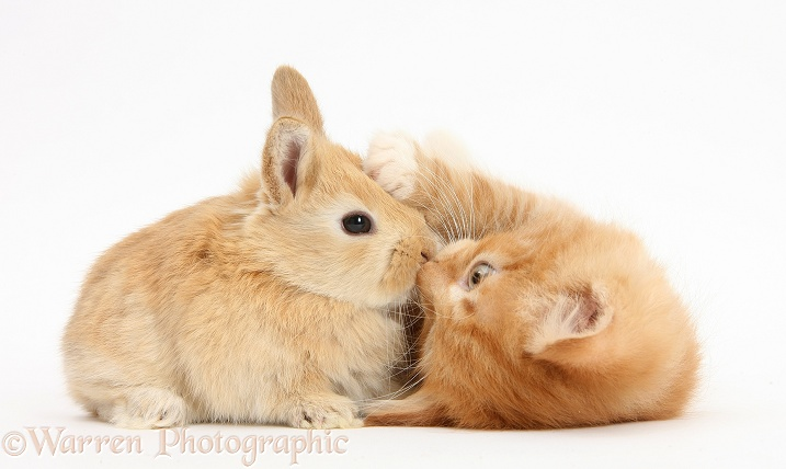 Ginger kitten, Butch, 7 weeks old, and baby sandy Lop rabbit, white background