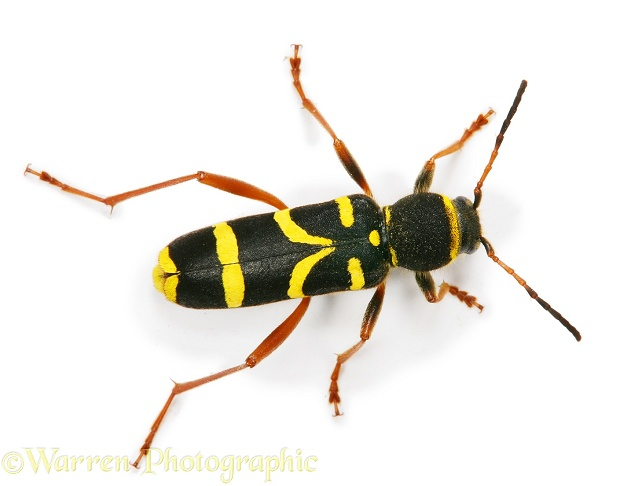 Wasp Beetle (Clytus arietus), white background