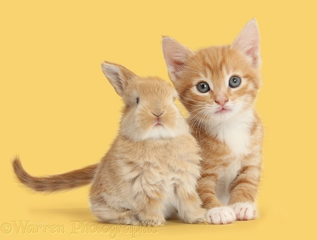 Ginger kitten, Tom, 7 weeks old, and baby sandy Lop rabbit, white background