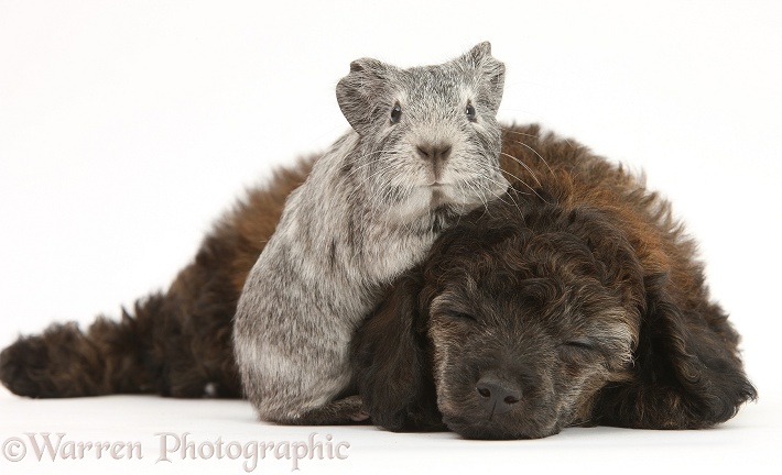 Sleepy red merle Toy Poodle pup, and silver Guinea pig, white background