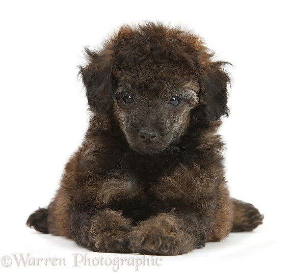 Red brindle Toy Poodle pup, 7 weeks old, white background