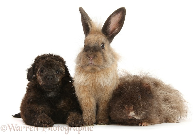 Pets: Red merle Toy Poodle pup, shaggy Guinea pig and rabbit photo ...