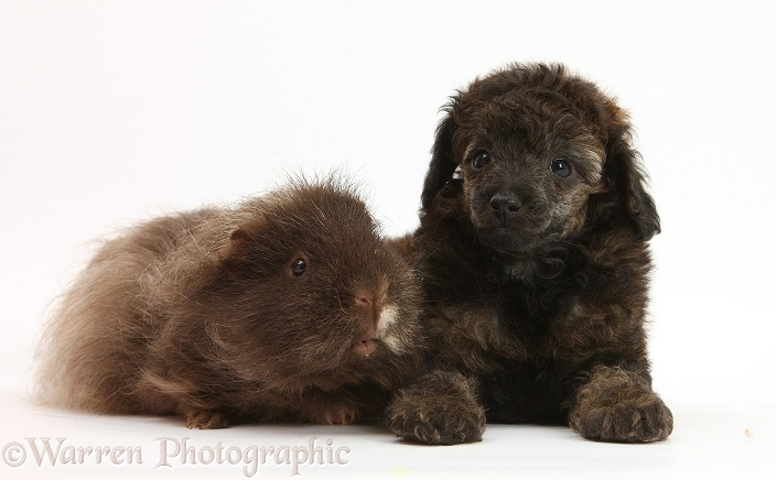 Red merle Toy Poodle pup and shaggy Guinea pig, white background