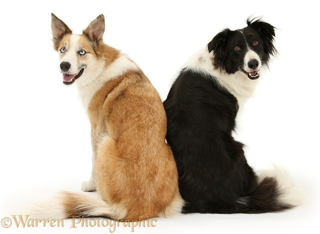 Red merle Border Collie, Zeb, and black-and-white Border Collie, Phoebe, looking over their shoulders, white background