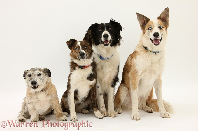 Patterdale x Jack Russell Terrier, Jorge, Collie mongrel, Brec, black-and-white Border Collie, Phoebe, and sable-and-white Border Collie, Zeb, white background
