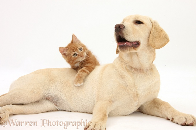 Ginger kitten, Butch, 10 weeks old, and Yellow Labrador Retriever pup, white background