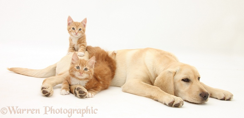Ginger kittens, Tom and Butch, 10 weeks old, with Yellow Labrador Retriever pup, white background