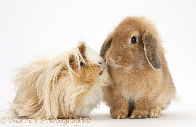 Bad-hair-day Guinea pig and Sandy Lop rabbit, white background