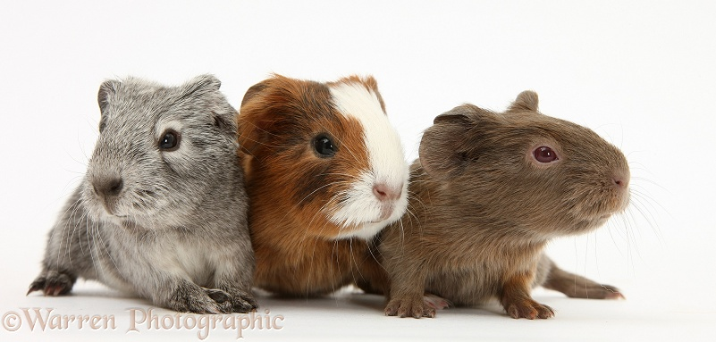 Three baby Guinea pigs, white background