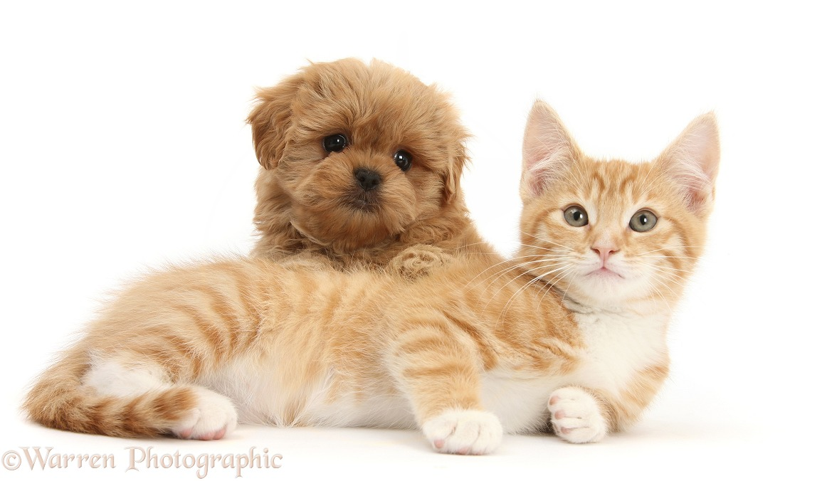 Peekapoo pup and ginger kitten, Tom, 11 weeks old, white background