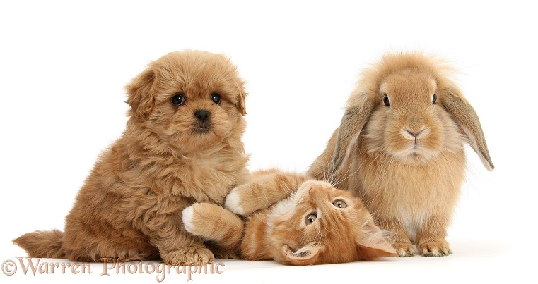 Peekapoo pup, Ginger kitten, Butch, 11 weeks old, and Sandy Lop rabbit, white background