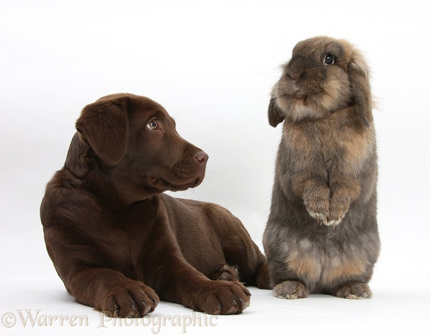 Chocolate Labrador pup, Lucie, 3 months old, with Lionhead rabbit, white background