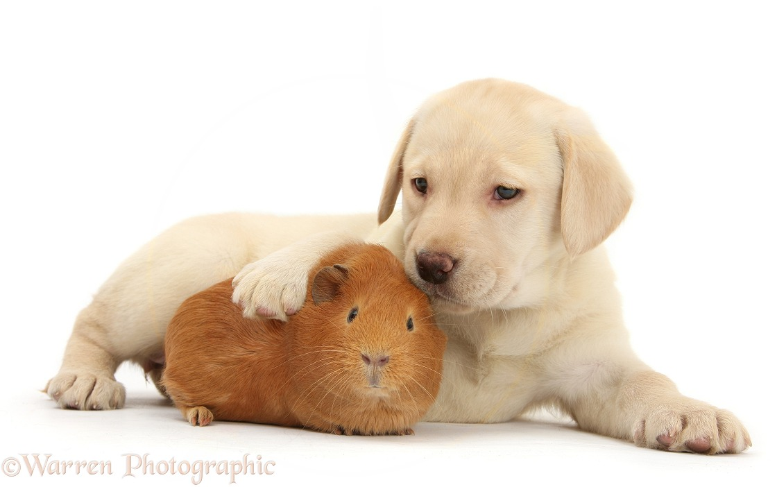 Yellow Labrador Retriever pup, 7 weeks old, and red Guinea pig, white background