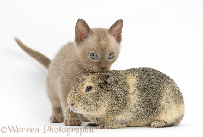 Burmese kitten, 7 weeks old, and guinea pig, white background