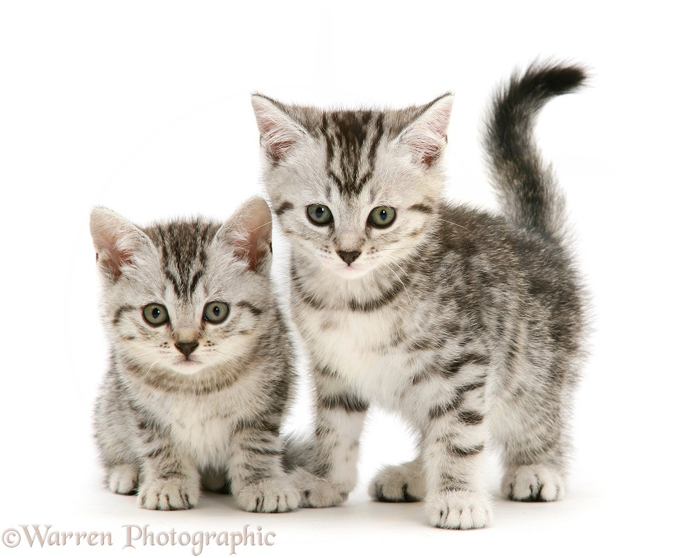 Two silver shorthair kittens, white background