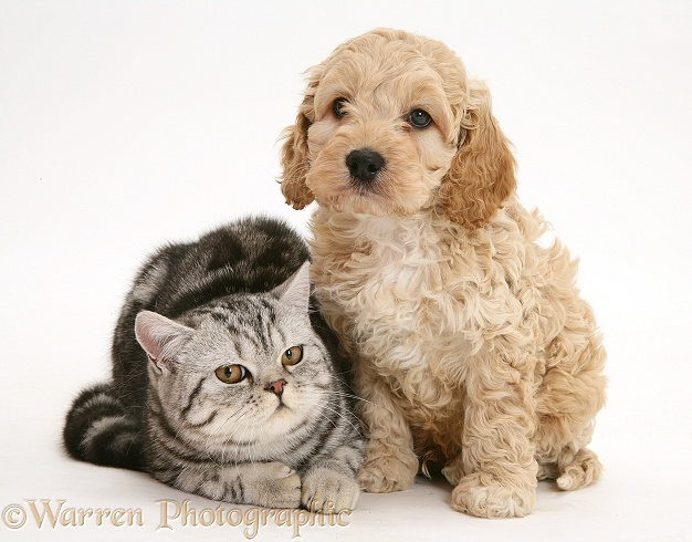 Silver tabby cat with Cockapoo puppy, white background