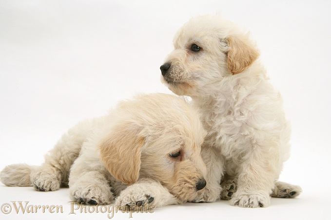 Woodle (West Highland White Terrier x Poodle) pups, white background
