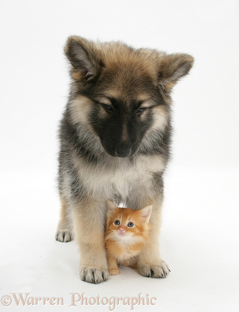 Pets Ginger Kitten With Alsatian Pup Photo Wp25621