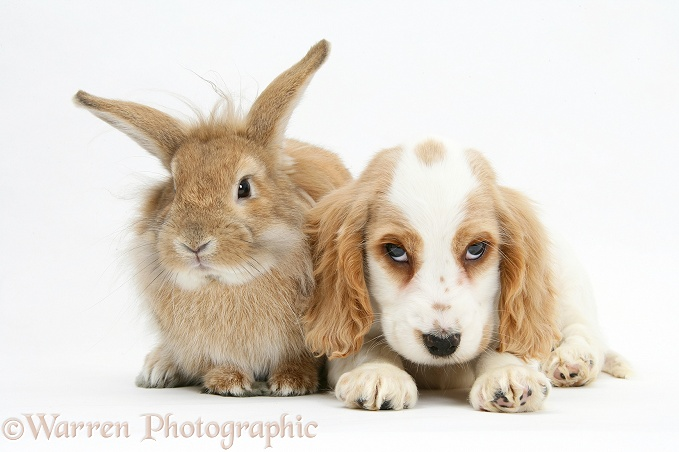 Orange roan Cocker Spaniel pup, Blossom, with sandy Lionhead-cross rabbit, Tedson, white background