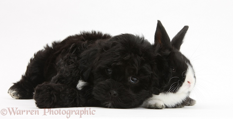 Black Pooshi (Poodle x Shih-Tzu) pup with baby rabbit, white background