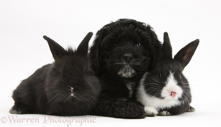 Black Pooshi (Poodle x Shih-Tzu) pup with baby rabbits, white background