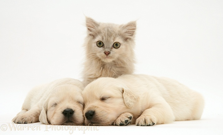 Lilac kitten and sleeping Golden Retriever pups, white background