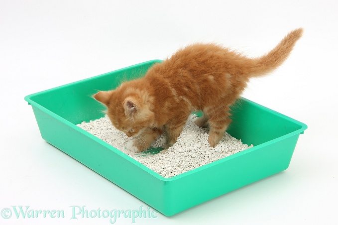 Ginger kitten, Butch, 8 weeks old, using a litter tray, white background