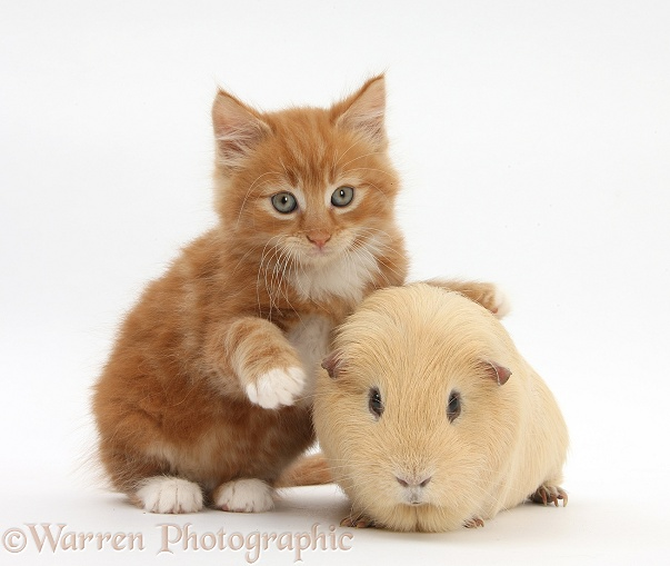 Ginger kitten, Butch, 7 weeks old, and yellow Guinea pig, white background