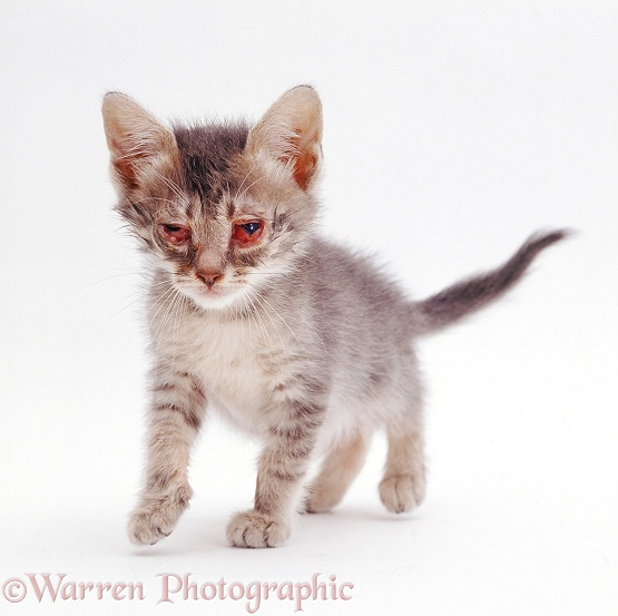 British Shorthair kitten with severe conjunctivitis caused by cat flu, white background