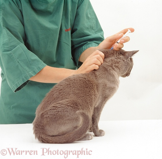 Blue Burmese cat, Monty, being given his annual booster, which includes FeLV vaccine, white background