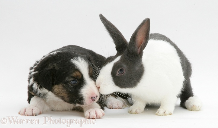 Tricolour Border Collie pup with blue Dutch rabbit photo - WP25719