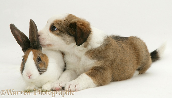 Border Collie pup with fawn Dutch rabbit, white background