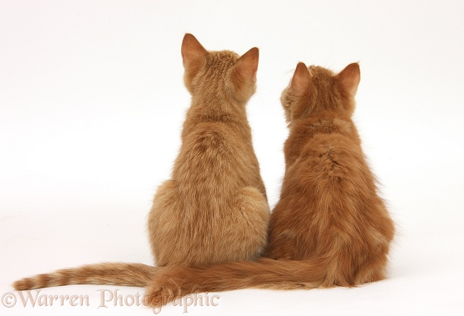 Two ginger kittens, Tom and Butch, 3 months old, back view, white background