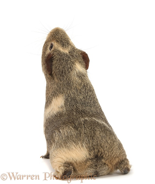 Yellow-agouti Guinea pig, back view