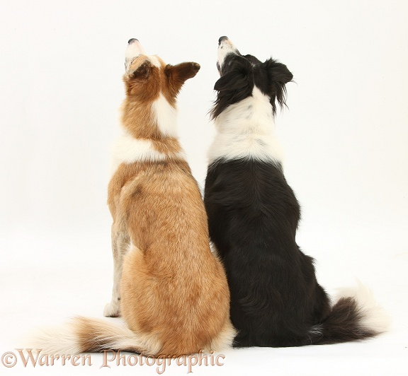 Red merle Border Collie, Zeb, and black-and-white Border Collie, Phoebe, sitting together, back view, white background