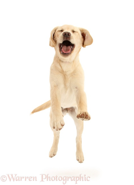 Yellow Labrador pup, 5 months old, leaping forward, white background