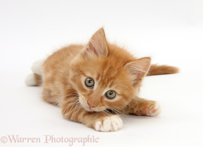 Ginger kitten, Butch, 8 weeks old, rolling playfully on his side, white background
