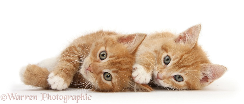 Two ginger kittens, Tom and Butch, 8 weeks old, lying together on their sides, white background