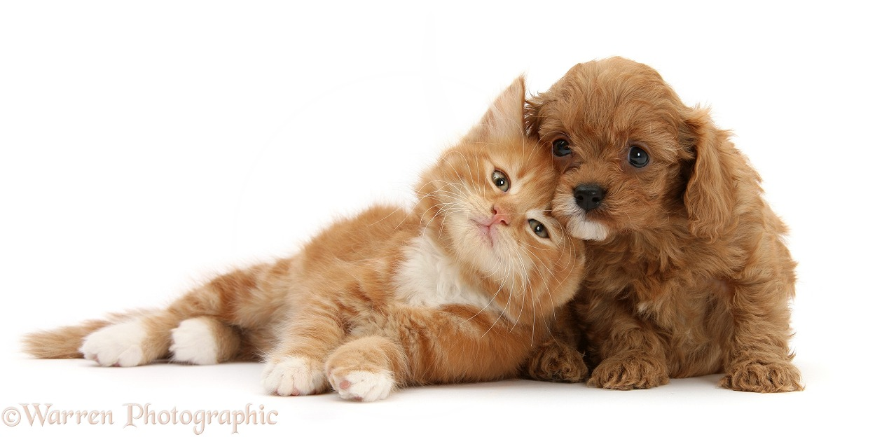Ginger kitten, Butch, 9 weeks old, and Cavapoo pup, white background