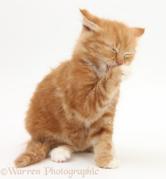 Ginger kitten, Butch, 8 weeks old, washing his face, white background