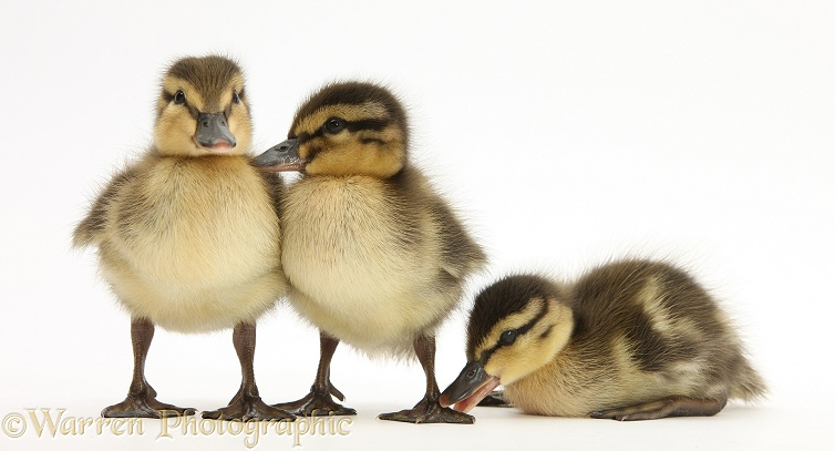 Three Mallard (Anas platyrhynchos) ducklings, 1 week old, white background