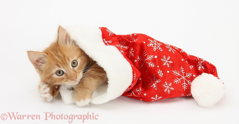 Ginger kitten, Butch, 8 weeks old, in a Father Christmas hat, white background