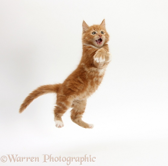 Ginger kitten, Butch, 8 weeks old, leaping, white background