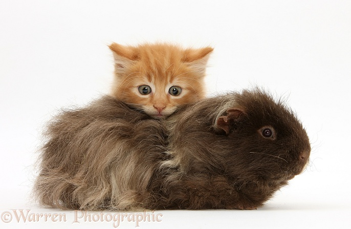 Ginger kitten, Butch, 7 weeks old, and shaggy Guinea pig, white background