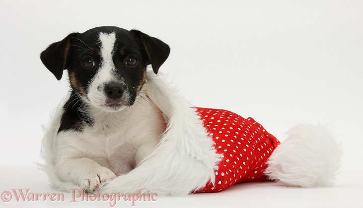 Jack Russell Terrier pup, Rubie, 9 weeks old, in a Father Christmas hat, white background