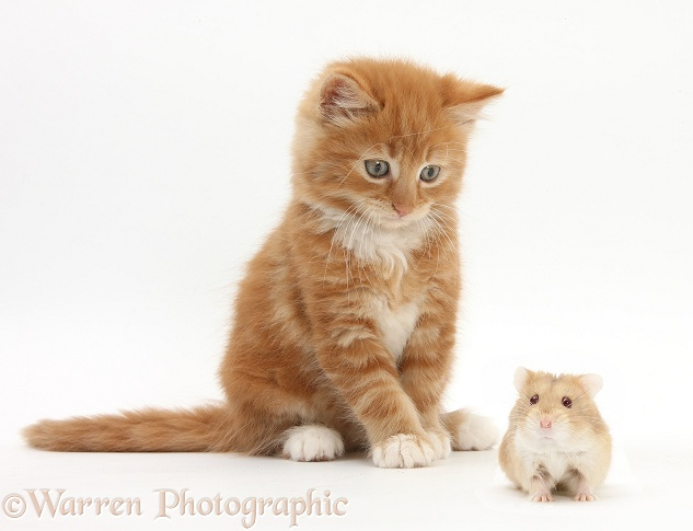 Ginger kitten, Butch, 7 weeks old, and Russian Hamster, white background