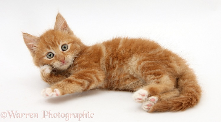 Ginger kitten, Butch, 7 weeks old, rolling playfully on his side, white background